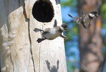 Canadian birds