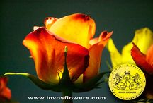 invosflowers / #invosflowers #colombia #flowers #colombianflowers #proflora #proflora2015 # #roses #rose #bestflowers #ecuadorianflowers #kenyanflowers