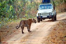 Tiger Safari / Vacations Beyond customize best deal for Tiger Safari In India, Indian Tiger Tour Package tour package and book Indian Wildlife Safari Package at http://www.vacationsbeyond.com/tiger-safari-in-india/
