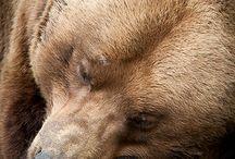 Tiere:  Bären / - außer Eisbären