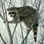 Raccoons / I really love Raccoons