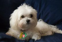 Maltese / by Susan Marchand-Steeley