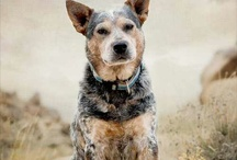 Blue Heelers / by Tia Willover