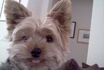 I love my Yorkie Pippi