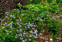 Woodland shade garden / Native plants in shade garden
