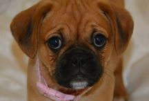 Ruby ❤️ / Ruby the red Pugalier!