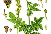 bylinky lecivky