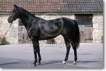 Thoroughbred / country of origin - England | average height 157-173 cm | colours - black, bay/brown, chestnut, grey, rarely cream dilutes, pinto patterns (sabino, frame overo, dominant white) | uses - racing, eventing, dressage, show jumping