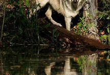 Wolves / by Mary Trowbridge