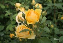 Roses by Tearose.