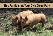 Pigs / Pigs are a great addition to a homestead and raising your own pigs to eat means you know what you are eating! Raising pigs. How to raise pigs. Pigs on the homestead. How to raise pigs for meat.