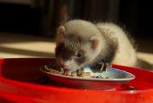 Muci - the ferret
