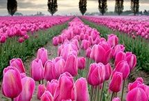 Tulips / Kings of spring