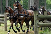 Harness / Horses in harness ,carriage driving