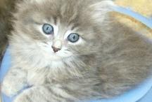 Siberian Cats - Hypoallergenic
