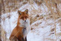 Fox things