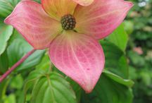 Cracking Cornus / Ornamental Cornus.  Create a real wow in the garden and are capable of stopping you in your tracks.
