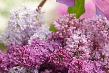 Lilacs Flowers and Art / Beautiful lilacs flowering, inspiration and artwork...