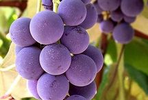 The fruit of the vine / by Leslie Ambrosia