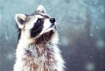 The Raccoon