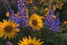 Sunflowers sunshine
