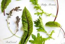 Lettuce / by Seasonal Roots