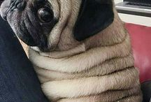 home is where your pug is