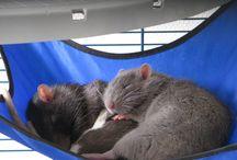 Rat / Juste des animaux cool et sympa