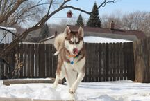 northern breed dogs / huskies / by Advanced Independence