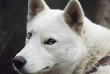 Wolf | Snow / Photografic