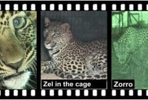 Leopard.tv Wildland Articles / Read our leopard stories and get to know the love we have for these mysterious animals.