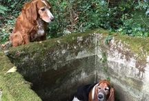 Dogs are most Loyal friends / Tillie, a golden retriever bitch, and watched for a week girlfriend – Phoebe, a basset hound – who had fallen into a pit and had no way to get out of it alone.
