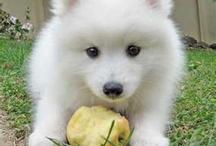 Japanese spitz puppys