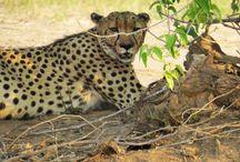 Zimbabwe / Rondreizen, safari's, wandelsafaris en vrijwilligerswerk in Zimbabwe. http://africantravels.com/ #africantravels #groepsreis #vakantie #reizen