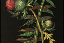 Mary Delany Botanicals / botanicals from the oeuvre of Mary Delany.