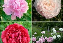 Gardening - Peonies