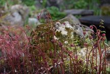 Unusual perennials - spring / some of the unusual and hard-to-find perennials that are available at Lost Horizons