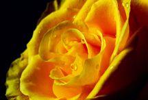 розы / Rose