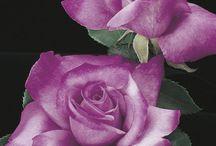 Róże liliowe