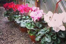 Sıklamen / #kartepecicekcilik #çiçekçi #garden #instagarden #greenhouse #flower #instaflower #floweroftheday #flowerporn #petals #botanical #beautiful #look #çiçek #doğa #nature #bahçe #ağaç #tree #bitki #plant #peyzaj #landscape #Kartepe #Maşukiye #Kocaeli