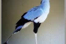 Ocells - birds