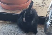Mizu the FUNNY BUNNY... / Mizu is my Holland Lop and has huge personality, huge appetite and makes  me laugh so much.