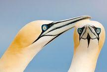 Northern gannets on the Saltee Island, Ireland #HeathrowGatwickCars.com