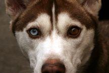 Heterochromia (różnobarwność tęczówki) / Heterochromia (różnobarwność tęczówki) w świecie zwierząt. Ta wada wzroku występuje również u ludzzi i dotyka około 1% populacji.