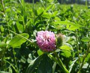 Viherlannoitusnurmi / Viherlannoitusnurmien käyttö viljelykierrossa on yksi tapa parantaa peltomaan laatua ja satoisuutta.