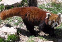 Red Panda Heaven / Red pandas gone to heaven :-(
