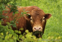Cows can be cute (My Photos) / #Cows are prominent in our area. They don't always like to have their pictures taken but we do it anyway :-) www.shadyridgephotography.com
