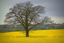 Spectacular Yellow Rapeseed Fields