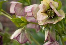 Mine favoritter til min hage / Blomster som jeg ønsker til hagen min på landet