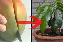 Mangobaum aus kern